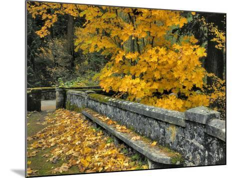 Stone Wall Framed by Big Leaf Maple, Columbia River Gorge, Oregon, USA-Jaynes Gallery-Mounted Photographic Print