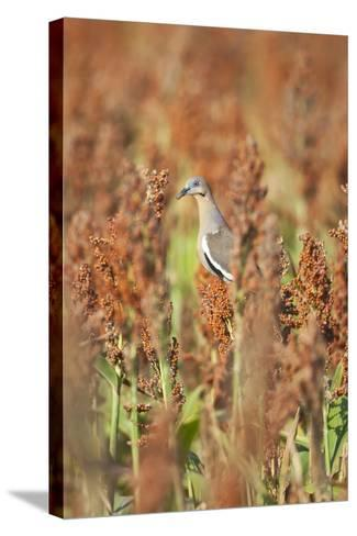 White-Winged Dove (Zenaida Asiatica) Perched on Sorghum, Texas, USA-Larry Ditto-Stretched Canvas Print