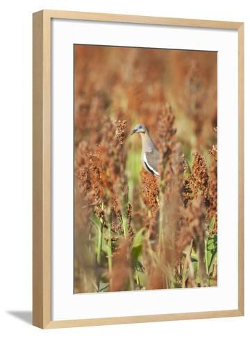 White-Winged Dove (Zenaida Asiatica) Perched on Sorghum, Texas, USA-Larry Ditto-Framed Art Print