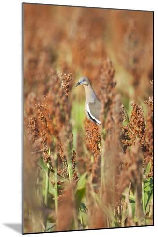 White-Winged Dove (Zenaida Asiatica) Perched on Sorghum, Texas, USA-Larry Ditto-Mounted Photographic Print