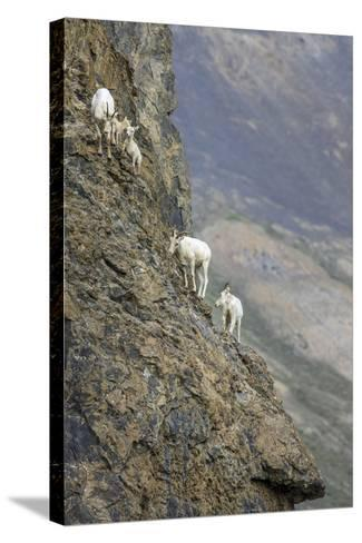Mountain Goats, Kongakut River, ANWR, Alaska, USA-Tom Norring-Stretched Canvas Print
