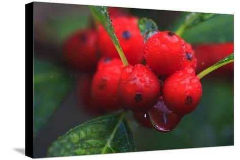 Red Berries with Rain Drops, Maine, USA-Joanne Wells-Stretched Canvas Print
