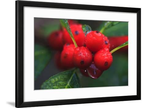 Red Berries with Rain Drops, Maine, USA-Joanne Wells-Framed Art Print