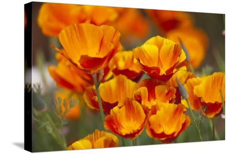 California Poppies in Bloom, Seattle, Washington, USA-Terry Eggers-Stretched Canvas Print