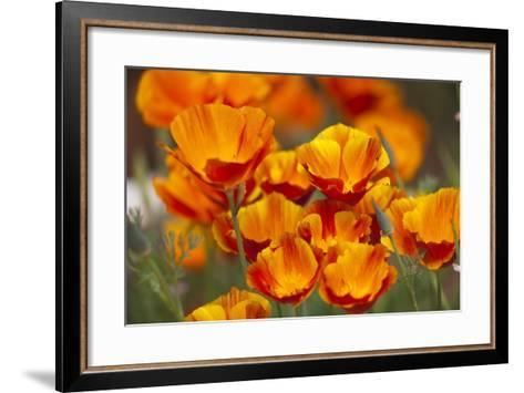 California Poppies in Bloom, Seattle, Washington, USA-Terry Eggers-Framed Art Print