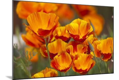 California Poppies in Bloom, Seattle, Washington, USA-Terry Eggers-Mounted Photographic Print