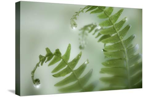 Close-Up of Dewy Deer Ferns, Seabeck, Washington, USA-Jaynes Gallery-Stretched Canvas Print