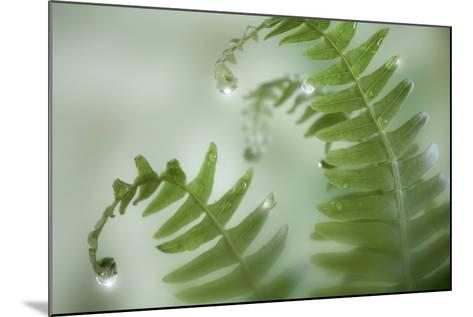 Close-Up of Dewy Deer Ferns, Seabeck, Washington, USA-Jaynes Gallery-Mounted Photographic Print
