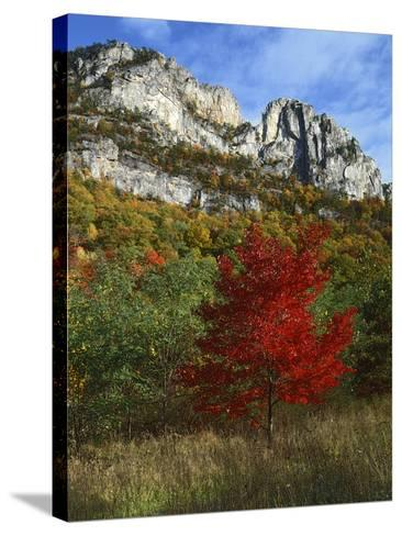 Highlighed Red Tree, Monongahela National Forest, West Virginia, USA-Charles Gurche-Stretched Canvas Print