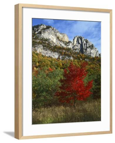 Highlighed Red Tree, Monongahela National Forest, West Virginia, USA-Charles Gurche-Framed Art Print
