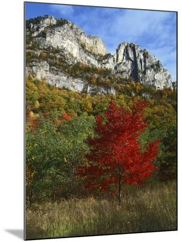 Highlighed Red Tree, Monongahela National Forest, West Virginia, USA-Charles Gurche-Mounted Photographic Print