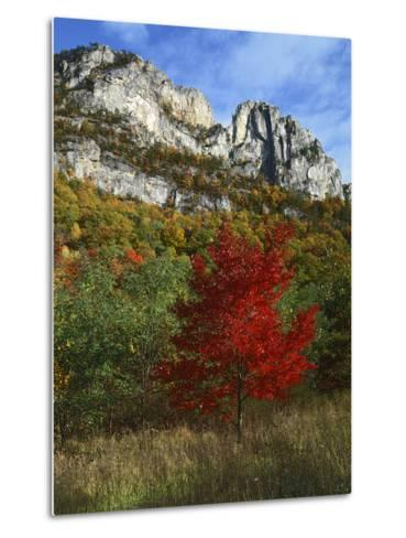 Highlighed Red Tree, Monongahela National Forest, West Virginia, USA-Charles Gurche-Metal Print