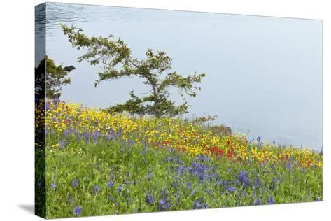 Wildflowers Overlooking Ocean, Yellow Island, Washington, USA-Jaynes Gallery-Stretched Canvas Print