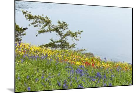 Wildflowers Overlooking Ocean, Yellow Island, Washington, USA-Jaynes Gallery-Mounted Photographic Print