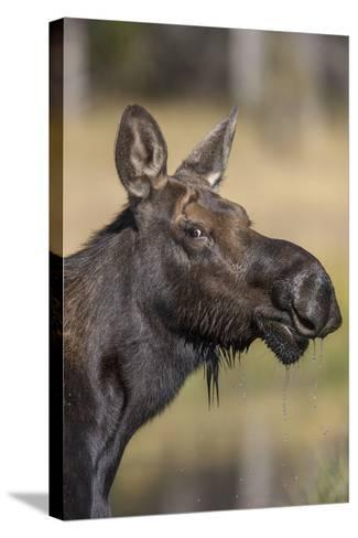 Moose in Watering Hole, Grand Teton National Park, Wyoming, USA-Tom Norring-Stretched Canvas Print