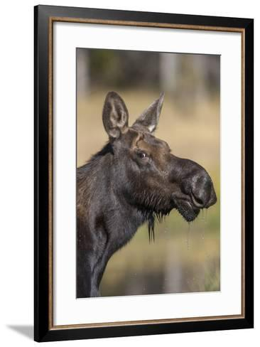Moose in Watering Hole, Grand Teton National Park, Wyoming, USA-Tom Norring-Framed Art Print