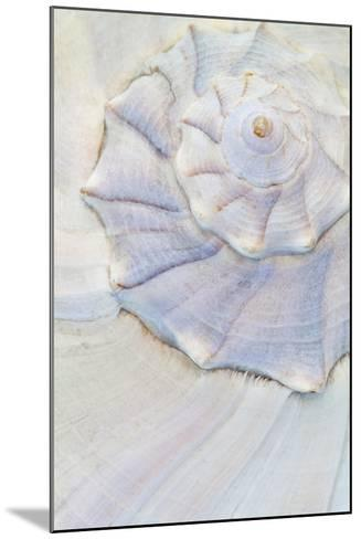 Close-Up of Pastel Seashell, Washington, USA-Jaynes Gallery-Mounted Photographic Print