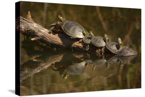 Western Painted Turtles, Sunning, Ridgefield NWR, Washington, USA-Michel Hersen-Stretched Canvas Print