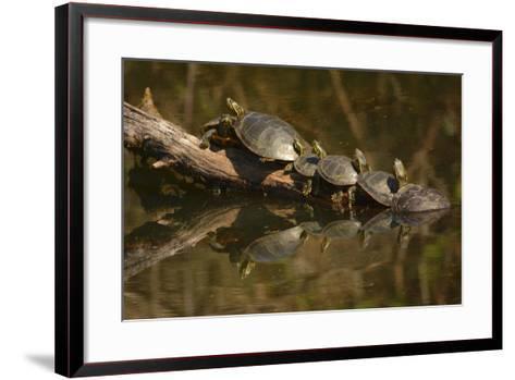 Western Painted Turtles, Sunning, Ridgefield NWR, Washington, USA-Michel Hersen-Framed Art Print