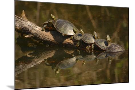 Western Painted Turtles, Sunning, Ridgefield NWR, Washington, USA-Michel Hersen-Mounted Photographic Print
