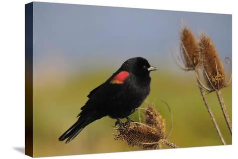 Male Red-Winged Blackbird, Ridgefield NWR, Ridgefield, Washington, USA-Michel Hersen-Stretched Canvas Print