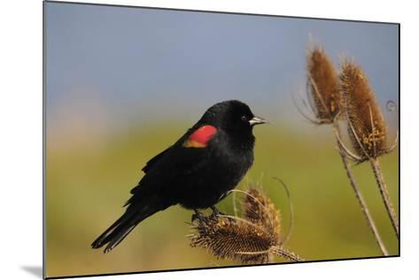 Male Red-Winged Blackbird, Ridgefield NWR, Ridgefield, Washington, USA-Michel Hersen-Mounted Photographic Print