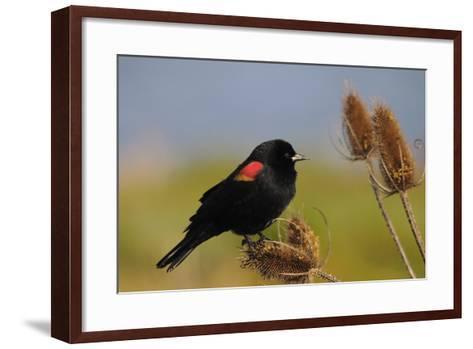 Male Red-Winged Blackbird, Ridgefield NWR, Ridgefield, Washington, USA-Michel Hersen-Framed Art Print