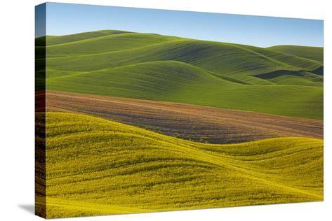 Canola Fields and Wheat, Palouse, Whitman County, Washington, USA-Charles Gurche-Stretched Canvas Print