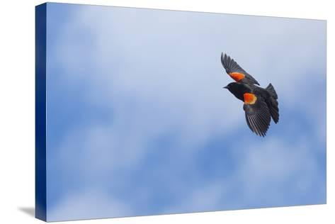 Red-Winged Blackbird (Agelaius Phoeniceus) in Flight, Washington, USA-Gary Luhm-Stretched Canvas Print