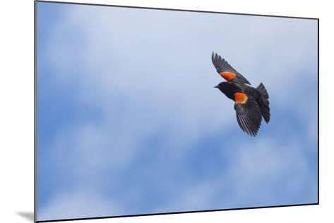 Red-Winged Blackbird (Agelaius Phoeniceus) in Flight, Washington, USA-Gary Luhm-Mounted Photographic Print