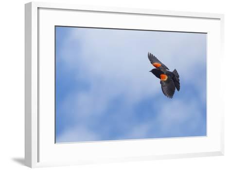 Red-Winged Blackbird (Agelaius Phoeniceus) in Flight, Washington, USA-Gary Luhm-Framed Art Print