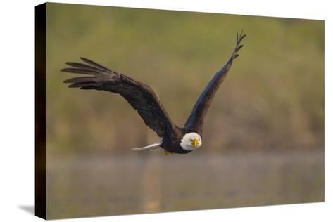 Bald Eagle (Haliaeetus Leucocephalus) in Flight, Washington, USA-Gary Luhm-Stretched Canvas Print