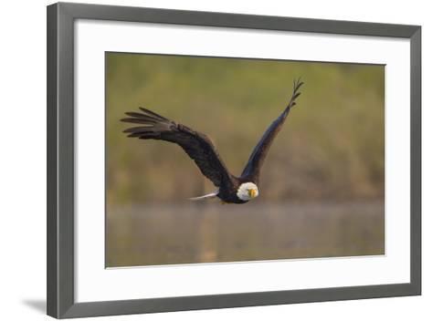 Bald Eagle (Haliaeetus Leucocephalus) in Flight, Washington, USA-Gary Luhm-Framed Art Print