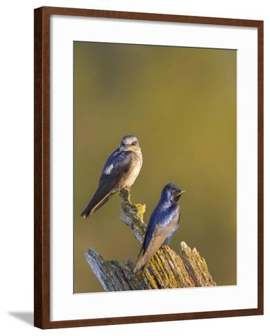 Purple Martins (Progne Subis) on Snag, Lake Sammamish, Washington, USA-Gary Luhm-Framed Art Print