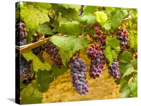 Pinot Noir Grapes in Eastern Yakima Valley, Washington, USA-Richard Duval-Stretched Canvas Print