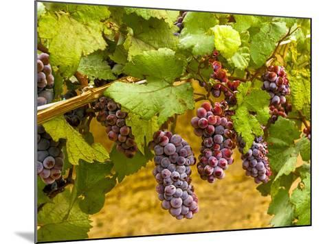 Pinot Noir Grapes in Eastern Yakima Valley, Washington, USA-Richard Duval-Mounted Photographic Print