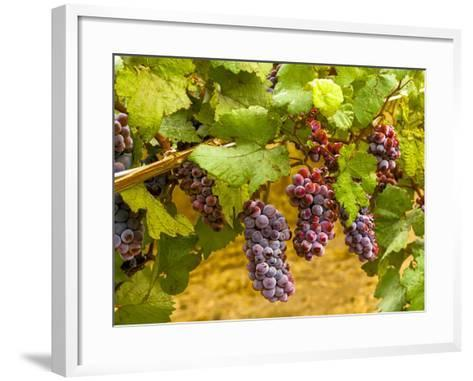 Pinot Noir Grapes in Eastern Yakima Valley, Washington, USA-Richard Duval-Framed Art Print