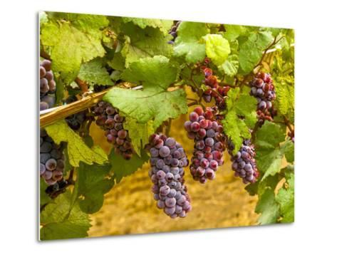 Pinot Noir Grapes in Eastern Yakima Valley, Washington, USA-Richard Duval-Metal Print
