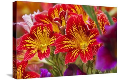 Summer Salpiglossis in Full Bloom, Washington, USA-Terry Eggers-Stretched Canvas Print