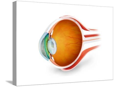 Anatomy of Human Eye, Perspective--Stretched Canvas Print