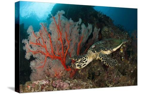 Close-Up View of a Hawksbill Sea Turtle Next to a Red Sea Fan, Indonesia--Stretched Canvas Print