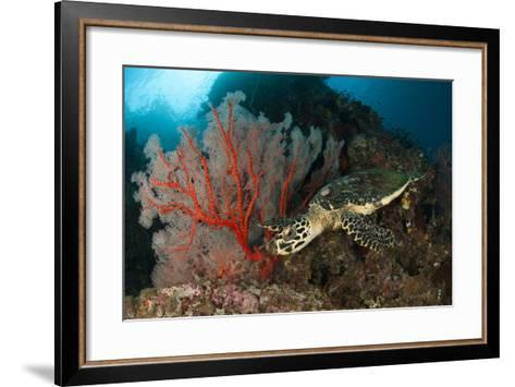 Close-Up View of a Hawksbill Sea Turtle Next to a Red Sea Fan, Indonesia--Framed Art Print