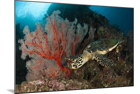 Close-Up View of a Hawksbill Sea Turtle Next to a Red Sea Fan, Indonesia--Mounted Photographic Print