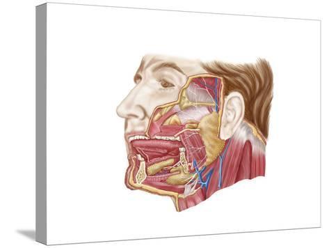 Anatomy of Human Salivary Glands--Stretched Canvas Print