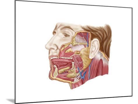 Anatomy of Human Salivary Glands--Mounted Art Print