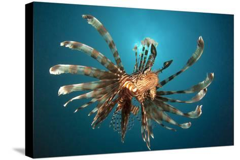 Close-Up View of a Lionfish. Gorontalo, Indonesia--Stretched Canvas Print