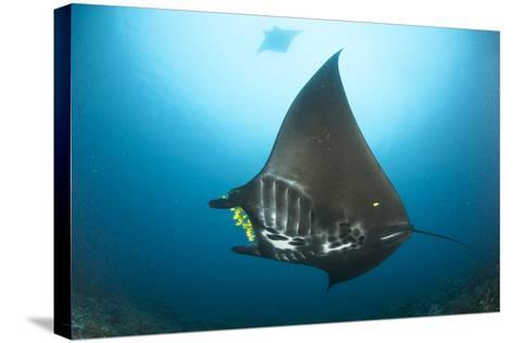 The Reef Manta Ray with Yellow Pilot Fish in Front of its Mouth--Stretched Canvas Print