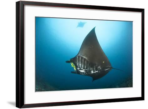 The Reef Manta Ray with Yellow Pilot Fish in Front of its Mouth--Framed Art Print