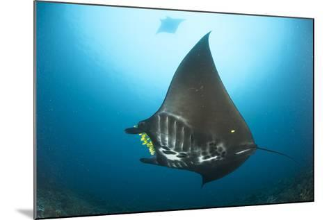 The Reef Manta Ray with Yellow Pilot Fish in Front of its Mouth--Mounted Photographic Print