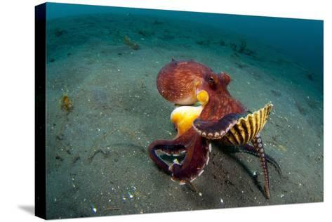 A Coconut Octopus, Lembeh Strait, Sulawesi, Indonesia--Stretched Canvas Print